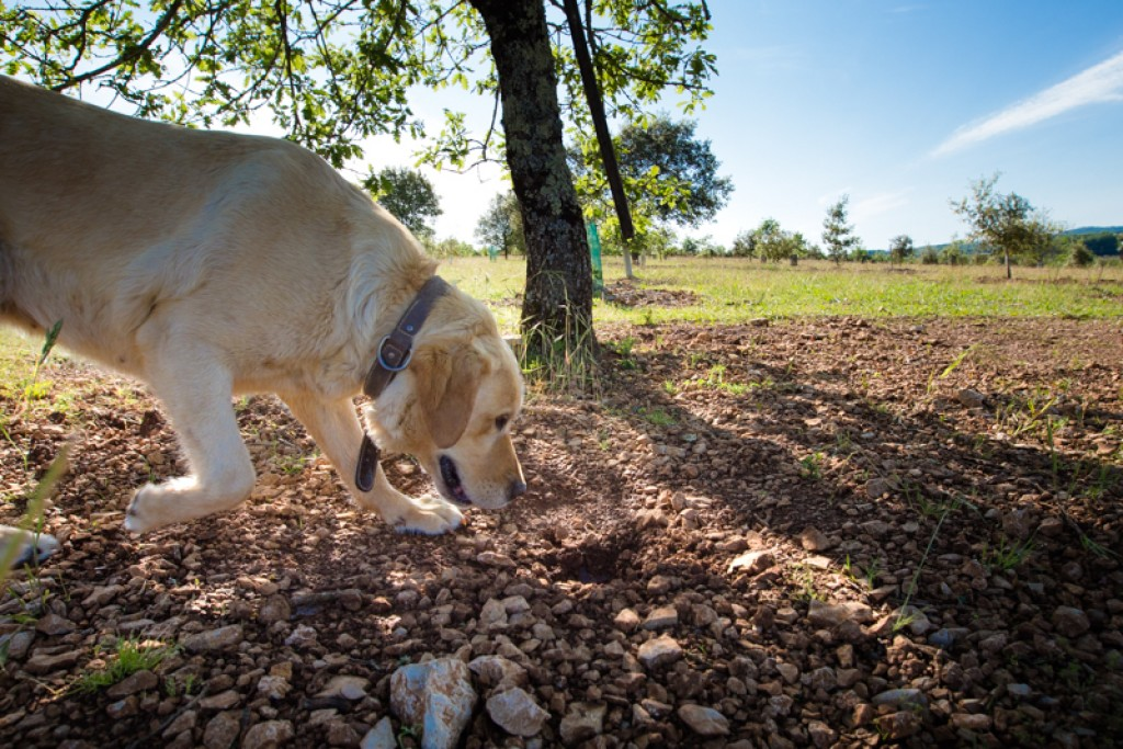 Truffle farm – Cuzance