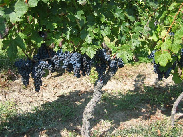 """The """"Domaine de la Voie Blanche"""" vineyard – St Cyprien"""